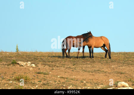 Adult Male Buckskin Stallion nursing from a mare in the Pryor Mountains Wild Horse Range on state border of Montana - Stock Photo
