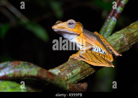 Polypedates otilophus (File-Eared Tree Frog), Kubah National Park, Sarawak, Malaysia - Stock Photo