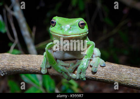 Australian Green Tree Frog (Litoria caerulea), Yuraygir National Park, NSW, Australia - Stock Photo