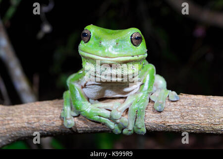 Australian Green Tree Frog (Litoria caerulea), Yuraygir National Park, NSW, Australia - Stock Photo
