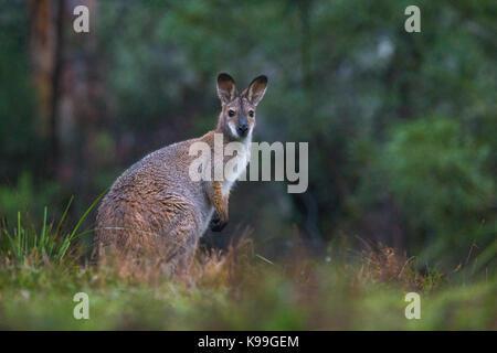 Red-necked Wallaby (Macropus rufogriseus), Blue Mountains, NSW, Australia - Stock Photo
