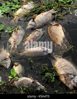 Geneva, United States. 22nd Sep, 2017. September 22, 2017- Geneva, Florida, United States - Dead fish, primarily - Stock Photo