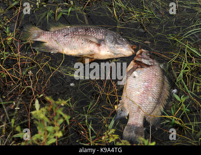 Geneva, United States. 22nd Sep, 2017. September 22, 2017- Geneva, Florida, United States - Dead fish, primarily - Stock Photo