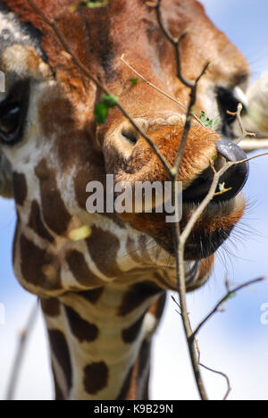 A Giraffe strips leaves off a tree with its tongue - Stock Photo