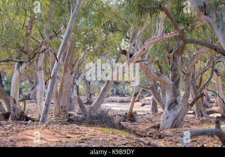 Eucalypt (Red River Gum) woodland along a dry riverbed in Sturt National Park, outback NSW, Australia - Stock Photo