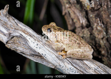 Peron's Tree Frog (Litoria peronii), also known as Emerald-spotted Tree Frog, Queensland, Australia - Stock Photo