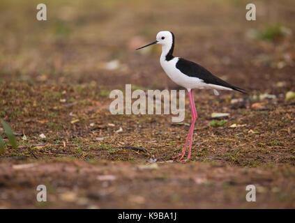 White-headed Stilt (Himantopus leucocephalus) also know as Black-winged Stilt, NSW, Australia - Stock Photo