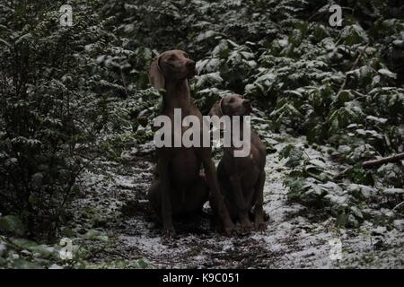 weims on point - Stock Photo