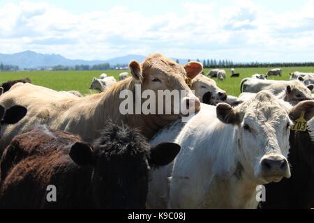 Sleepy Cows - Stock Photo
