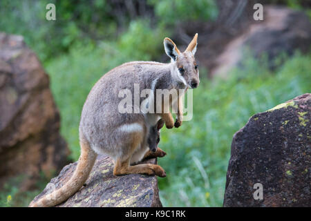 Yellow-footed Rock-wallaby (Petrogale xanthopus), Flinders Ranges, South Australia - Stock Photo