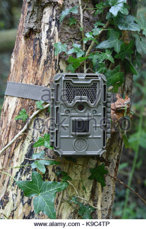 Bushnell Trophy Cam Essential E3 on an ivy covered tree in woodland. - Stock Photo