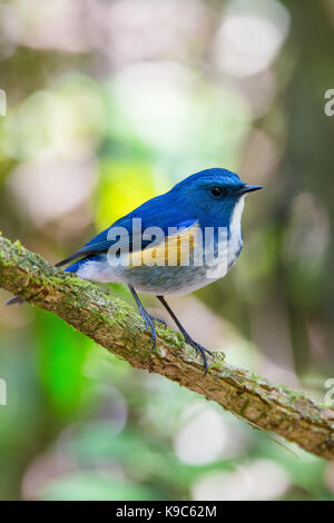 Male Himalayan Bluetail (Tarsiger rufilatus) also know as Orange-flanked Bush-robin - Doi Lang, Thailand - Stock Photo