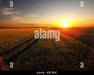 Sunset over canola field in bloom - Stock Photo