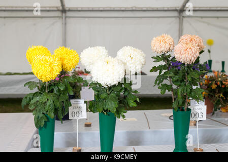Vases of Chrysanthemum flowers on display at a horticultural show. - Stock Photo