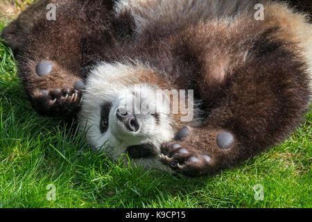 Giant panda (Ailuropoda melanoleuca) playful one-year old cub close up - Stock Photo