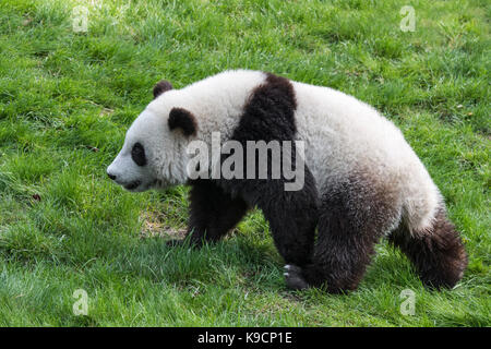 Giant panda (Ailuropoda melanoleuca) one-year old cub walking in zoo - Stock Photo