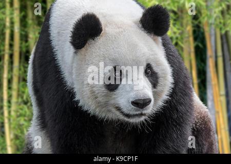 Giant panda / panda bear (Ailuropoda melanoleuca) close up portrait in bamboo forest - Stock Photo