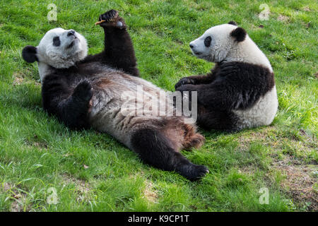Young giant panda (Ailuropoda melanoleuca) watching mother eating cookie in zoo - Stock Photo
