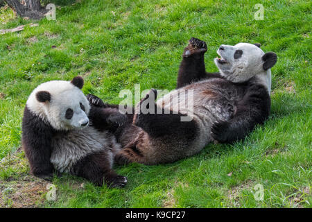 Giant panda (Ailuropoda melanoleuca) female with one-year old cub in zoo - Stock Photo