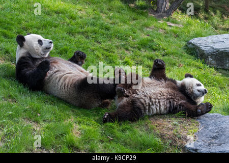 Giant panda (Ailuropoda melanoleuca) female with playful one-year old cub lying on their backs in zoo - Stock Photo