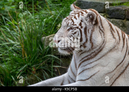White tiger / bleached tiger (Panthera tigris) pigmentation variant of the Bengal tiger, native to India - Stock Photo