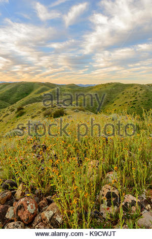 Fiddlenecks in Morning, Panoche Hills Wilderness Study Area, Fresno County, California - Stock Photo