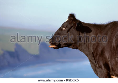 Dairy Cow Sticking Tongue Out, above Drakes Bay, Point Reyes National Seashore, California - Stock Photo