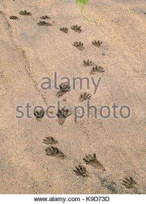 Raccoon Tracks on the Shore of Tomales Bay, Point Reyes National Seashore, California - Stock Photo