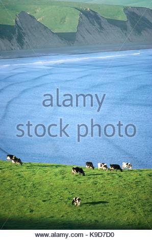 Dairy Cows Grazing above Drakes Bay, Point Reyes National Seashore, California - Stock Photo