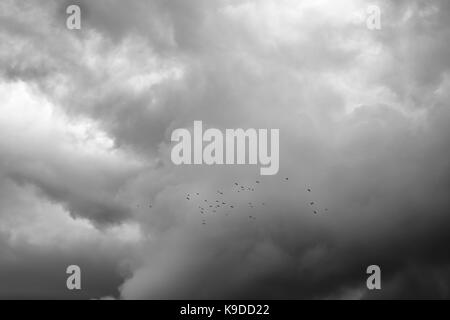 A flock of rooks or crows seen against a stormy and cloudy evening sky, moody monochrome image (Herefordshire, UK) - Stock Photo