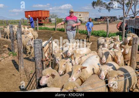 sheep at Riebeek Wes, Swartland, South Africa - Stock Photo