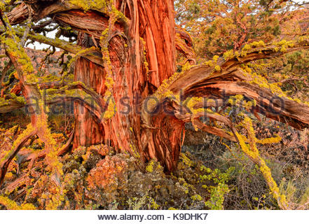 Ancient Knarly Western Juniper with first glow of dawn light, Lava Beds National Monument, California - Stock Photo