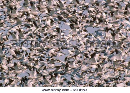 Masses of Snow Geese in Flight, Gray Lodge Wildlife Area, California - Stock Photo