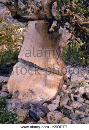 Chain-sawed Ancient Bristlecone Pine (I believe cut in 1960s for 'research'), Great Basin National Park, Nevada - Stock Photo