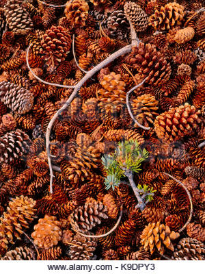 Branch Fallen on Cones of Bristlecone Pine, Limber Pine and Engelmann Spruce, Great Basin National Park, Nevada - Stock Photo