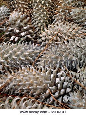 Coulter Pine Cones, Marin County Open Space, California - Stock Photo