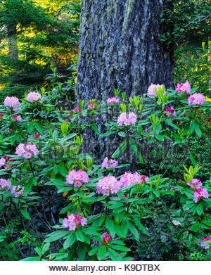 Rhododendron and Old-growth Douglas-fir,Redwood National Park, California - Stock Photo