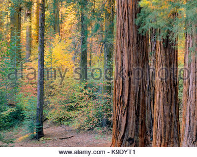 Giant Sequoias in Fall in the Merced Grove,Yosemite National Park, California - Stock Photo