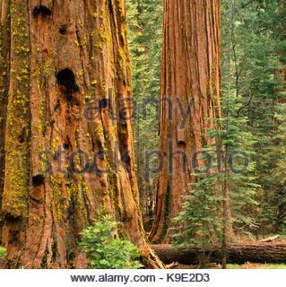 Giant Sequoias in the Mariposa Grove,Yosemite National Park, California - Stock Photo