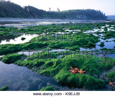 Sea Stars and Tide Pools, Olympic National Park, Washington - Stock Photo