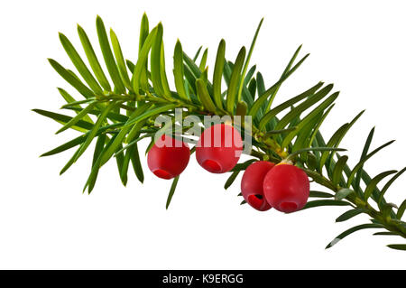 Twig yew tree with red fruits close up isolated on white background. - Stock Photo