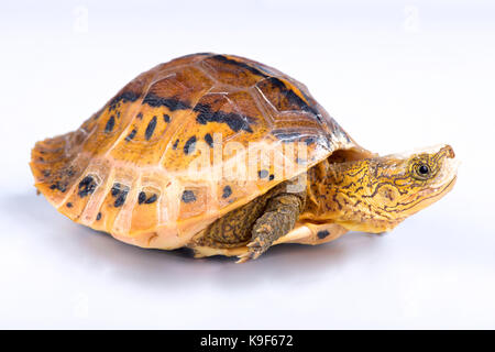Flowerback Box Turtle, Cuora galbinifrons - Stock Photo