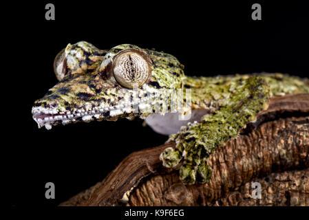 Giant leaf-tailed gecko, Uroplatus giganteus - Stock Photo