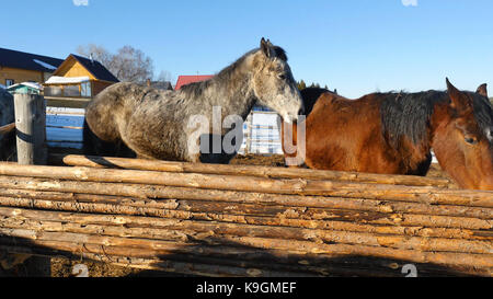 Black white and brown horses standing on the snow in a paddock near the white wooden fence - Stock Photo