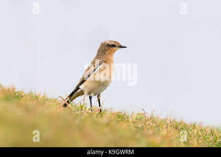 Wheatear (Oenanthe oenanthe) female standing on grass. Summer visitor to Britain in the family Turdidae, on Somerset - Stock Photo