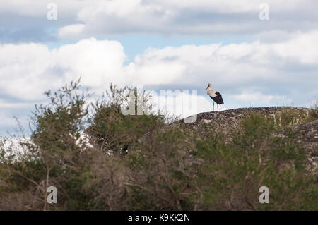 A stork perched on a large rock in the field with a beautiful background of white clouds in the sky at the natural - Stock Photo