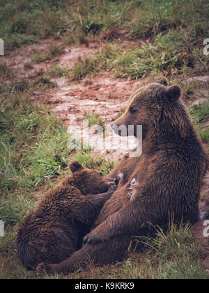 Brown Bear baby drinking milk of your mom in Cabarceno Natural Park, Cantabria, Spain. - Stock Photo