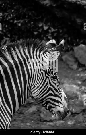 Grévy's zebra in Cabarceno Natural Park, Cantabria, Spain. - Stock Photo