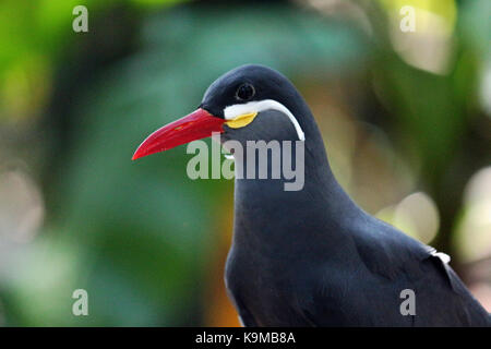 A close up head shot of an Inca Tern Bird native to Peru and Chile with a natural colorful background. - Stock Photo