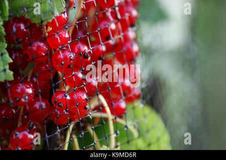 redcurrants on the bush - Stock Photo